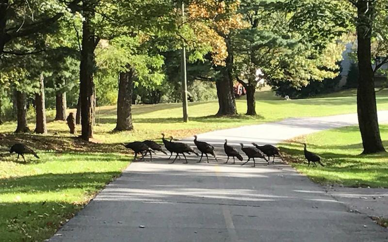 Wild turkeys crossing the drive